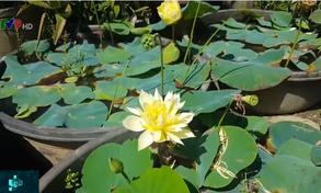 Độc đáo giống hoa sen quý nở hàng trăm cánh tại Quảng Nam