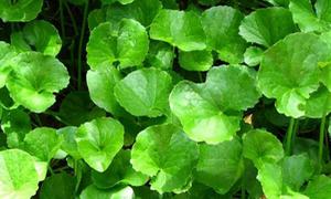 Rau má: cây rau thông dụng, vị thuốc tốt