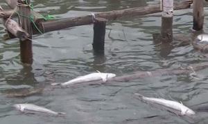 Cá lồng nuôi chết hàng loạt tại đầm Lập An, Thừa Thiên Huế