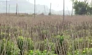 Nông dân Khánh Hòa nỗ lực khôi phục vườn hoa Tết