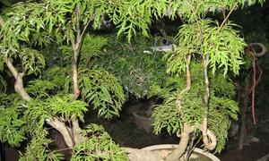 Cây đinh lăng - vị thuốc quý của người nghèo