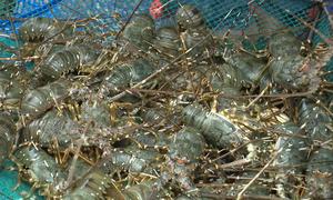 Thức ăn nuôi tôm hùm hủy hoại môi trường Vịnh Xuân Đài