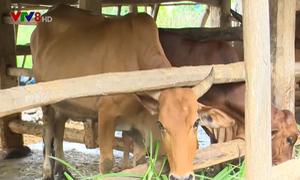 Giá bò giảm mạnh, người chăn nuôi lao đao