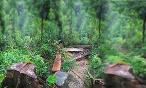 Tiêu điểm: Rừng phòng hộ bị tàn phá nghiêm trọng, lâm tặc liều lĩnh chống đối