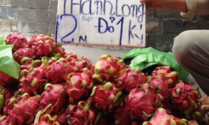Bình Thuận: Giá chỉ còn chưa tới 2.000 đồng/kg, thanh long bị đổ bỏ cho bò ăn
