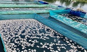 Cá chết hàng loạt, người nuôi cá lồng ở Hội An kêu cứu