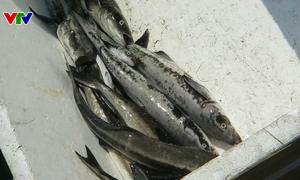 """Quảng Ngãi: Cá bớp chết hàng loạt do bị """"sốc phản vệ"""" với môi trường nước"""