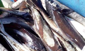 Cá bớp chết hàng loạt ở Đầm Môn, Khánh Hòa là do ô nhiễm cục bộ