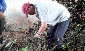 Quảng Nam: Cây dại làm củi bỗng được săn lùng, đào cả gốc bán sang Trung Quốc