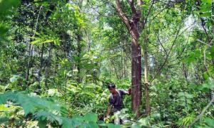 Thừa Thiên Huế tăng hiệu quả từ trồng rừng gỗ lớn