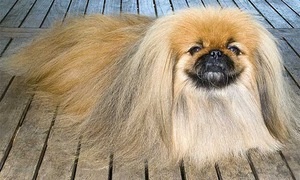 Giống chó Bắc Kinh không còn được ưa chuộng ở thủ đô Trung Quốc