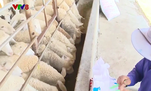 Ninh Thuận: Trang trại chăn nuôi thích ứng thiên tai