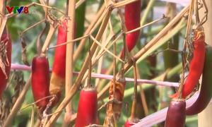 Quảng Trị: Doanh nghiệp không thu mua ớt, chính quyền phải giải cứu