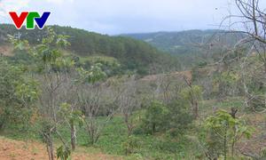 Lâm Đồng: Cây hồng ăn trái chết hàng loạt