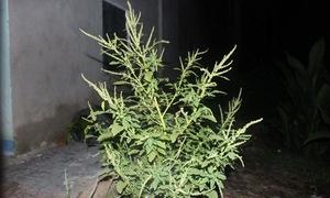 Dền gai: Vị thuốc trong vườn nhà