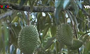 Quảng Nam đột phá trong phát triển kinh tế vườn gắn với du lịch