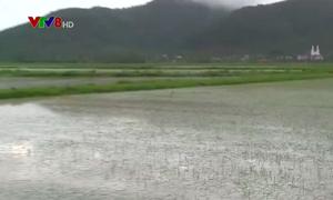 Nghệ An khẩn trương tiêu úng cho hơn 20.000 ha lúa