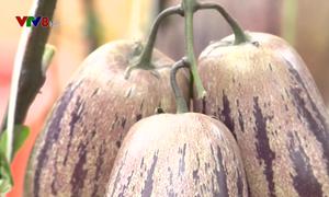 Dưa Pepino - Ý tưởng khởi nghiệp từ nông sản độc đáo