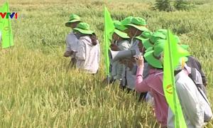 Ninh Thuận khảo nghiệm thành công giống lúa chịu hạn