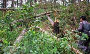 Lâm Đồng: Kiểm điểm trách nhiệm vụ phá rừng thông