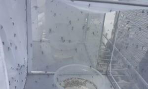 Tháng 3 sẽ thả muỗi Wolbachia loại trừ sốt xuất huyết tại Nha Trang