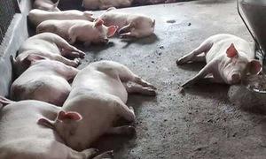 Phát hiện hàng trăm con lợn ở Thừa Thiên Huế bị lở mồm long móng