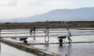 Muối trúng mùa được giá, diêm dân Ninh Thuận phấn khởi