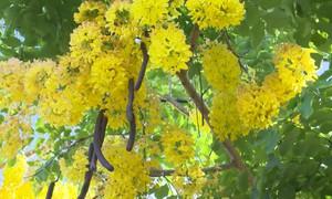 Rực rỡ sắc hoa Osaka đầu hạ