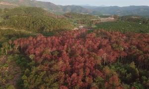 Tái diễn thủ đoạn đầu độc thông rừng