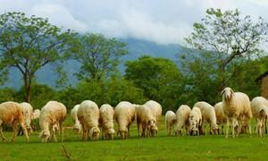 Buổi sáng trên đồng cừu