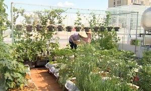 Xanh mướt vườn rau sân thượng