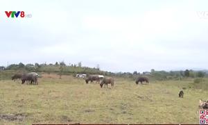 Kon Tum: Hơn 250 con gia súc chết do rét đậm, rét hại