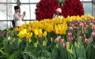 Vườn hoa tulip đủ sắc màu