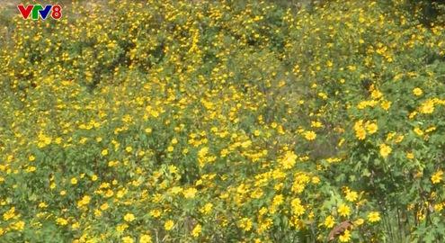 Mùa hoa dã quỳ tại núi Chư Đăng Ya, Gia Lai