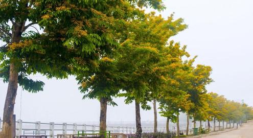 Sắc vàng hoa sưa Tam Kỳ, Quảng Nam