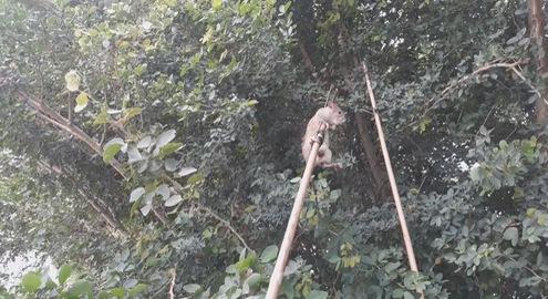 Độc đáo săn chuột đồng trên cây mùa nước nổi