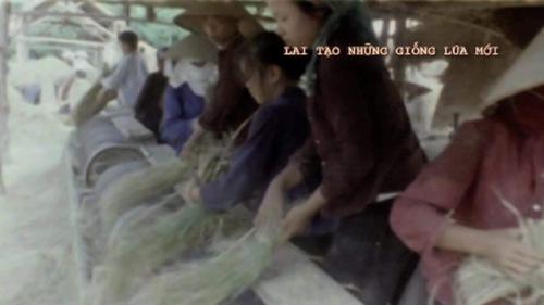 Kì tích lai tạo giống lúa mới trong thời chiến