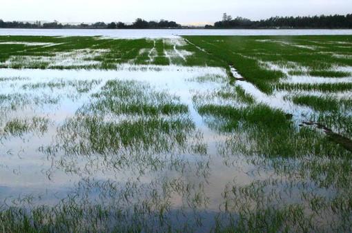 Đồng Tháp: Mưa lớn khiến nhiều diện tích lúa bị hư hại nặng