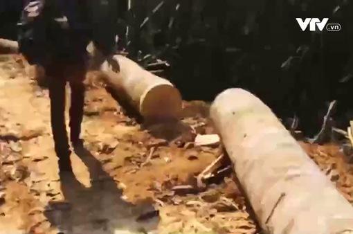 Thanh Hóa: Ngang nhiên khai thác gỗ trái phép
