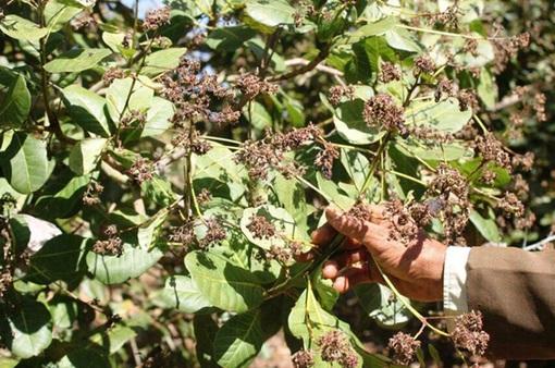10.000 ha điều tại tỉnh Bình Phước bị bọ xít muỗi tấn công