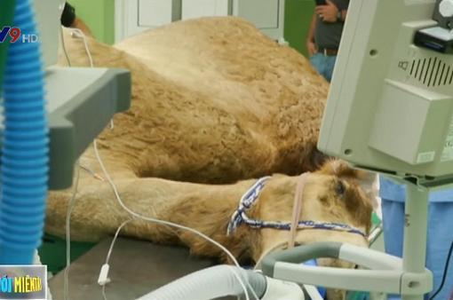 Bệnh viện dành riêng cho lạc đà ở Dubai