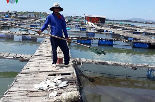 Quảng Nam: Cá lồng bè chết hàng loạt trên sông Trường Giang