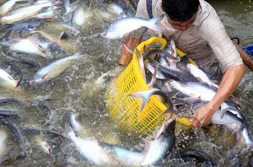 Giá cá tra tăng đột biến sau Tết