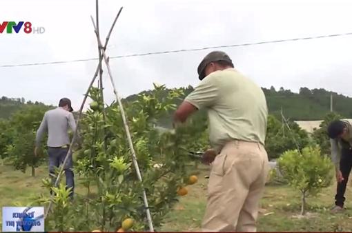 Cam canh tiền tỷ giữa đất trồng rau