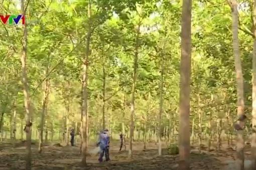 Những cây cao su nghĩa tình trên đất Campuchia