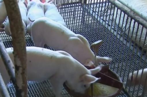 Trung Quốc chú trọng mô hình chăn nuôi lợn sạch