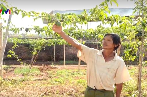Gia Lai: Chanh dây không cho ra quả