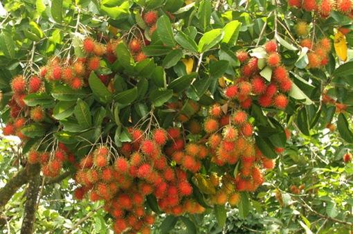 New Zealand sẽ sớm nhập khẩu chôm chôm của Việt Nam