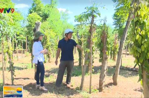 Phú Yên: Người trồng tiêu khiếu nại về thời gian thuê đất