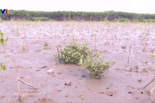 Trồng rừng chống sạt lở đứng trước nguy cơ thất bại